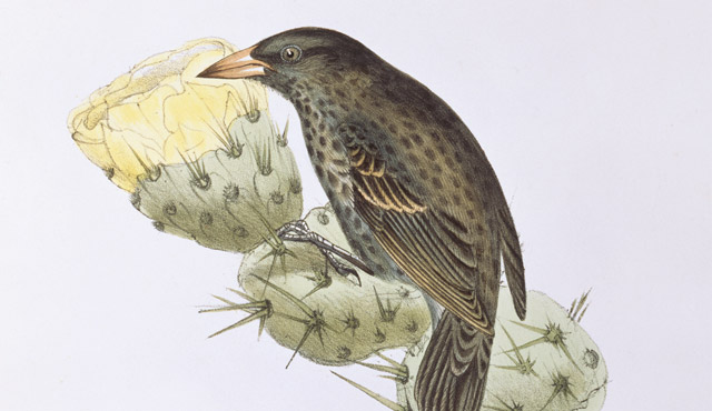 Painting of a cactus finch