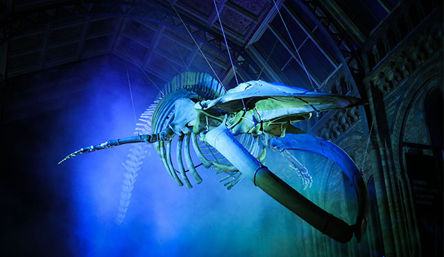 Blue whale skeleton in atmospheric lighting