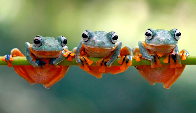 Three orange and green frogs