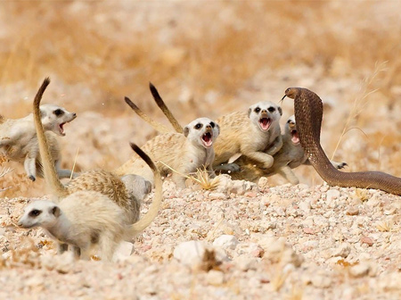 The Meerkat Mob © Tertius A Gous