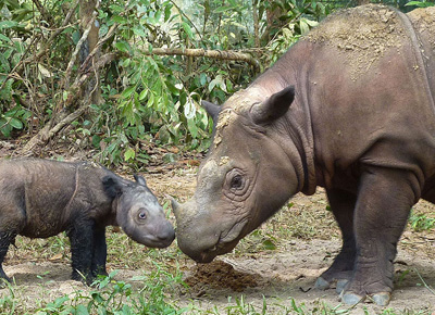 Malaysian rhinos