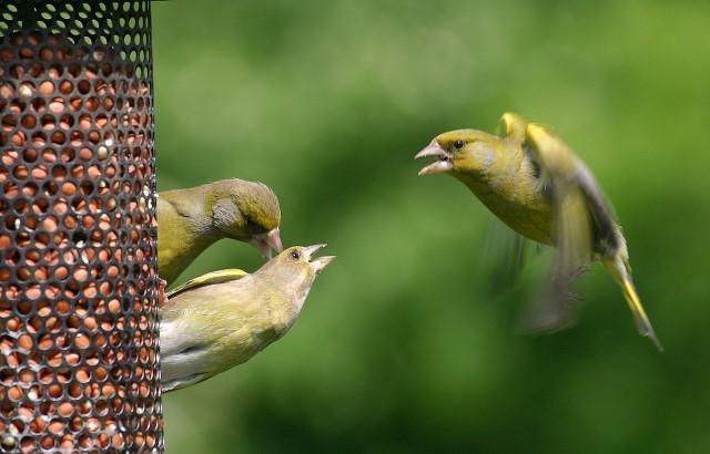 Greenfinch at feeder by Jill Pakenham